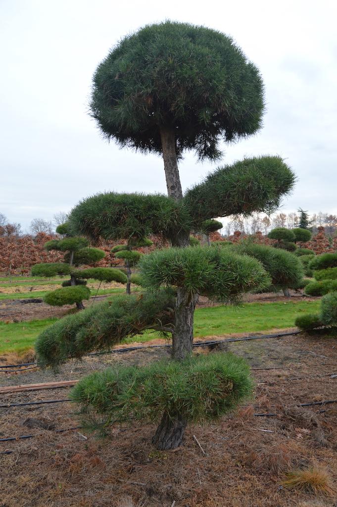 Pinus (Pine) specimen cloud pruned trees (14)