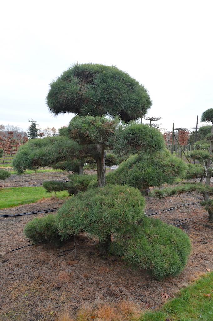 Pinus (Pine) specimen cloud pruned trees (15)