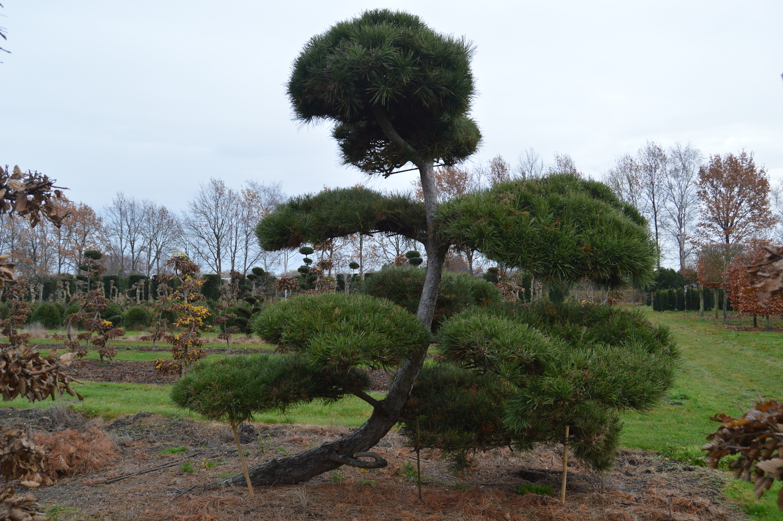 Pinus (Pine) specimen cloud pruned trees (16)