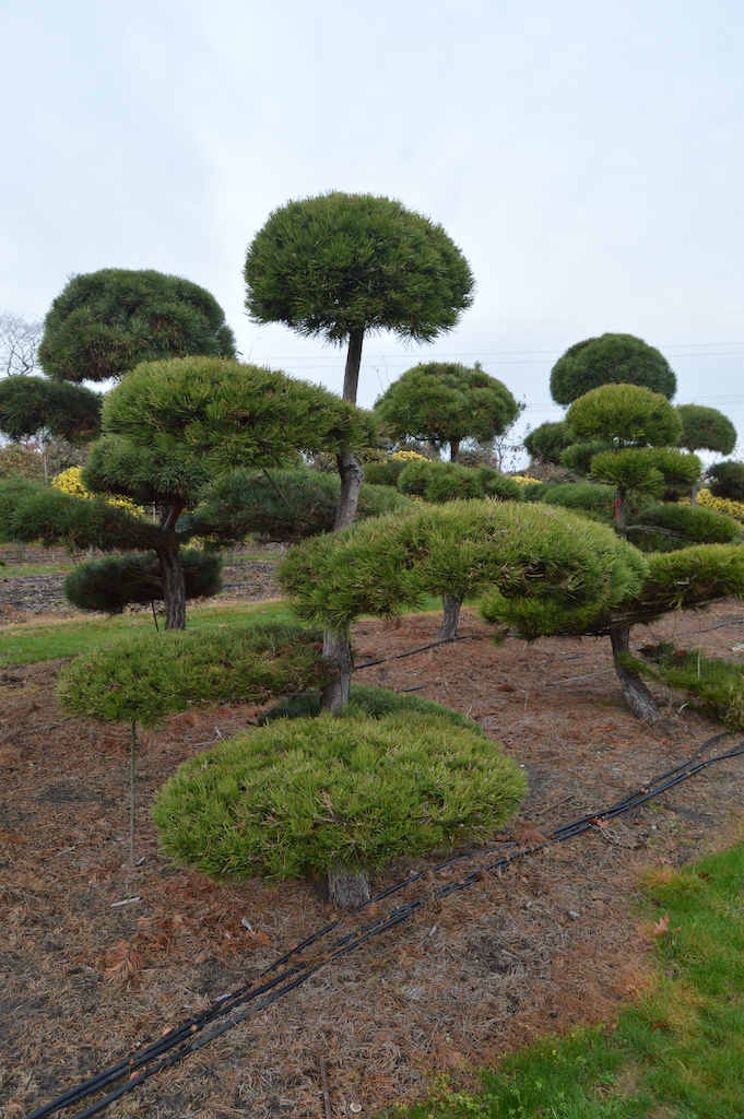 Pinus (Pine) specimen cloud pruned trees (3)