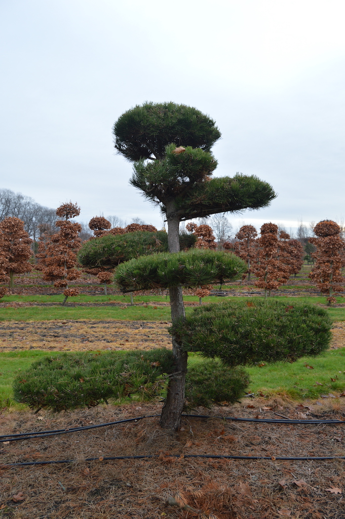 Pinus (Pine) specimen cloud pruned trees (6)