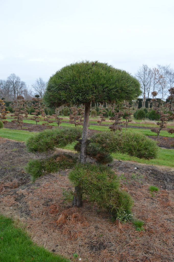 Pinus (Pine) specimen cloud pruned trees (7)