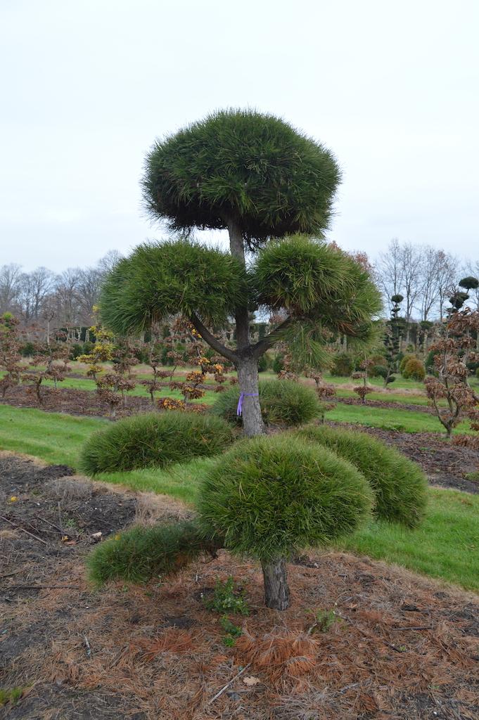 Pinus (Pine) specimen cloud pruned trees (8)