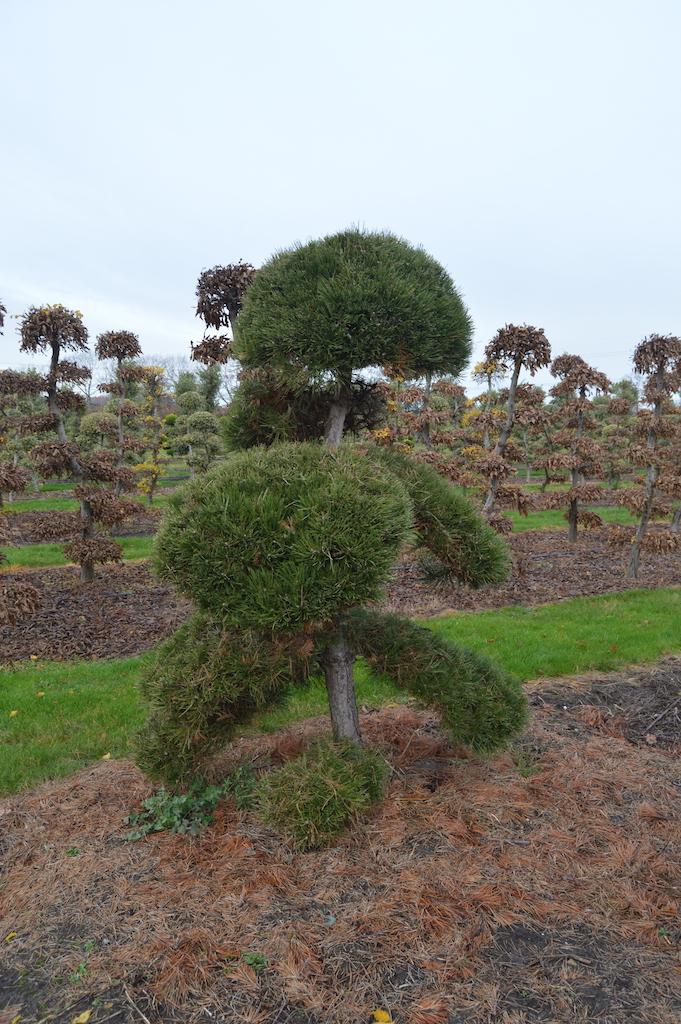 Pinus (Pine) specimen cloud pruned trees (9)