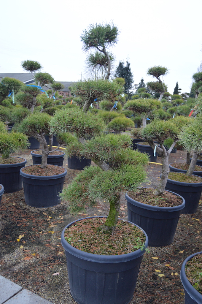 Pinus contorta cloud pruned 125cm