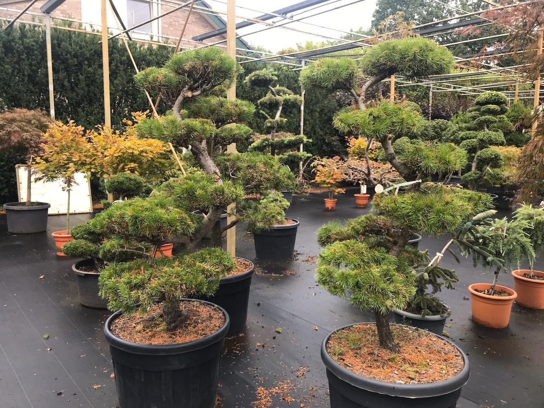 Pinus contorta cloud pruned 130-150cm (1)