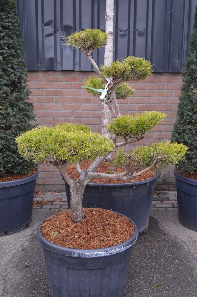 Pinus contorta cloud pruned tree 100-125cm (1)