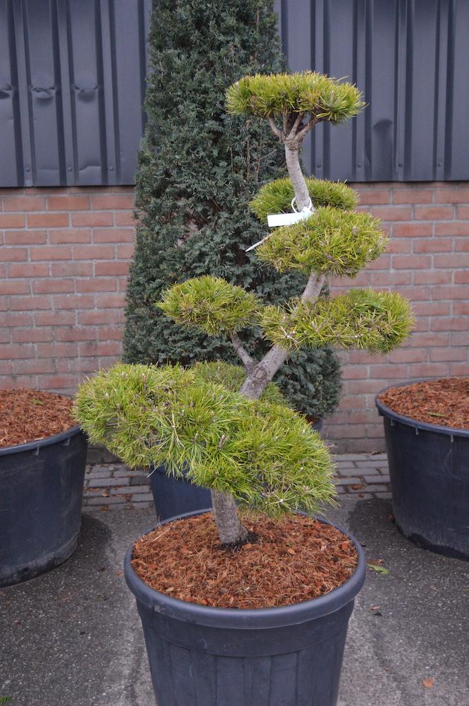 Pinus contorta cloud pruned tree 100-125cm (2)