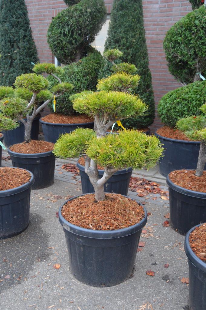 Pinus contorta small cloud pruned tree 80-100cm tall