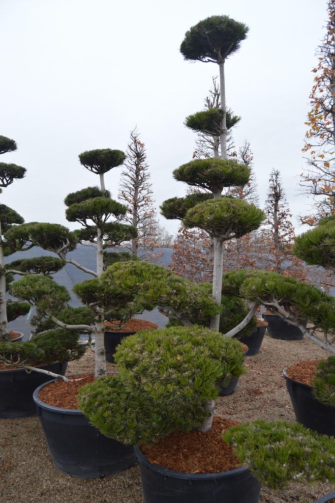 Pinus heldreichii cloud pruned 200-225cm
