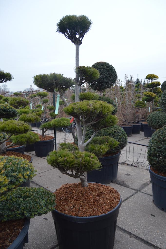 Pinus heldreichii cloud pruned tree 150-175cm
