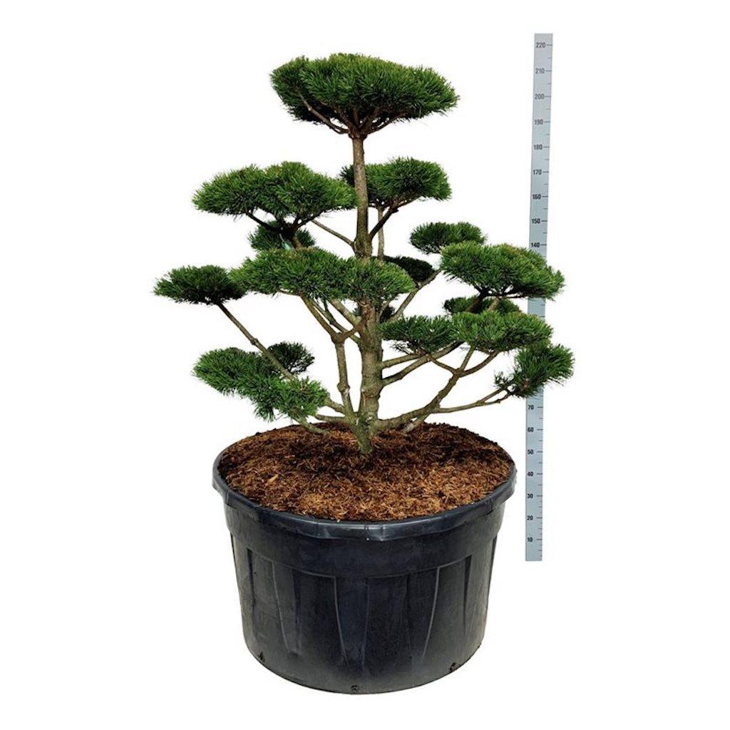 Pinus mugo 'Gnom' cloud pruned 100-125cm 500 litre pot