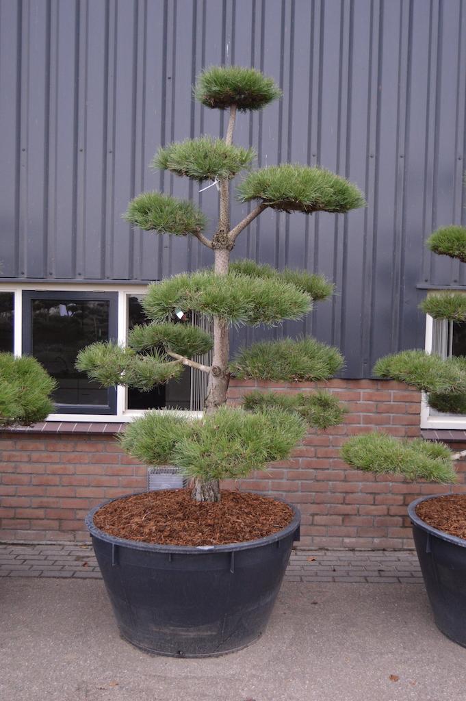 Pinus nigra 'Nigra' (Black Pine) cloud pruned tree 200-225cm