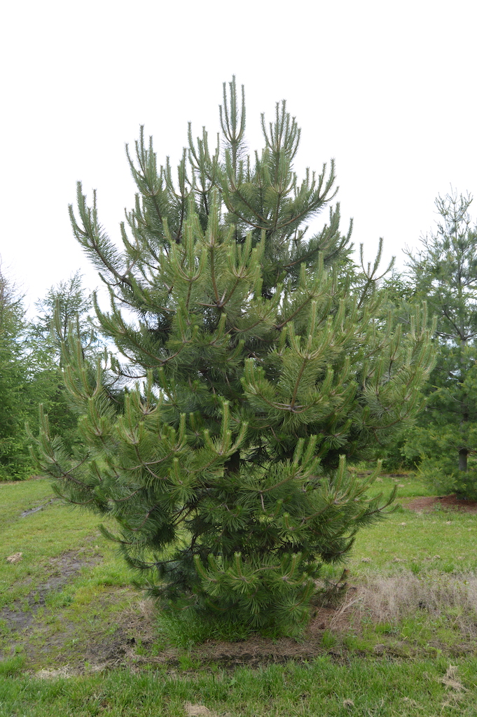 Pinus nigra 'Nigra' feathered Pine tree 400-500cm