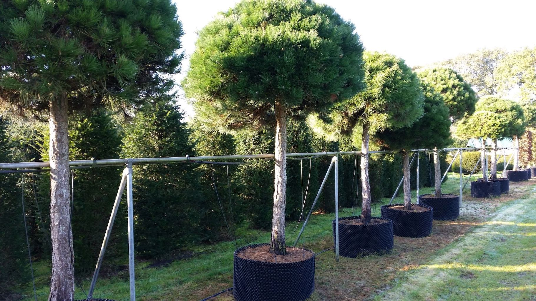 Pinus nigra 'Nigra' lollipop trees