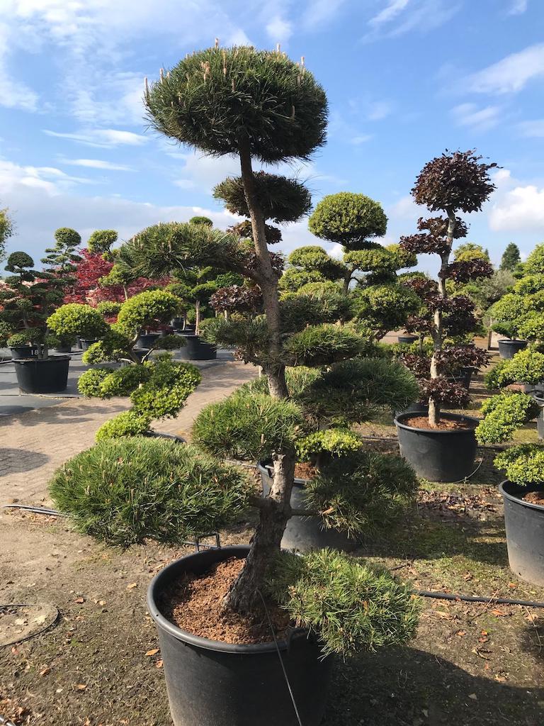 Pinus nigra cloud pruned 200cm