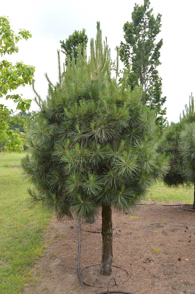 Pinus nigra ssp Laricio (2)