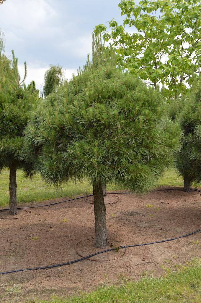 Pinus nigra ssp Laricio (3)
