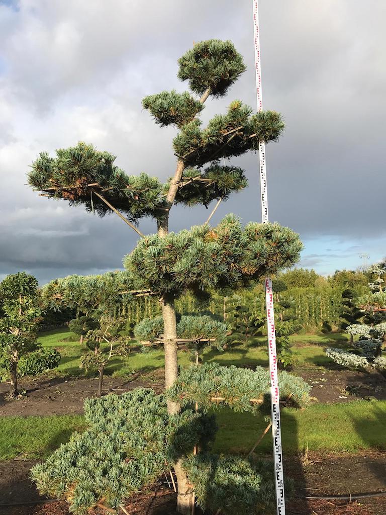 Pinus parviflora 'Glauca' cloud pruned 300-350cm