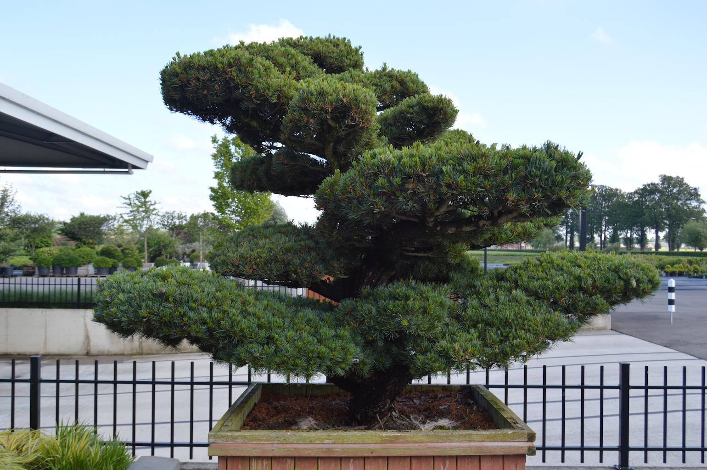 Pinus parviflora 'Glauca' cloud pruned Pine tree in container