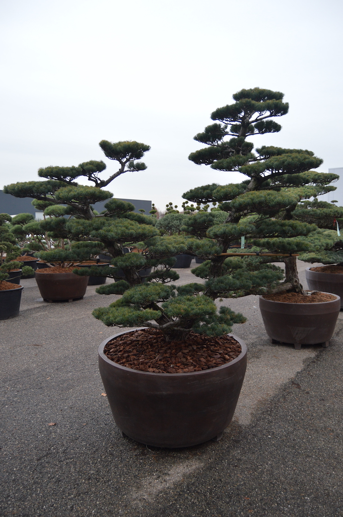 Pinus parviflora 'Glauca' cloud pruned double stem specimen (Japanese import) 200-250cm