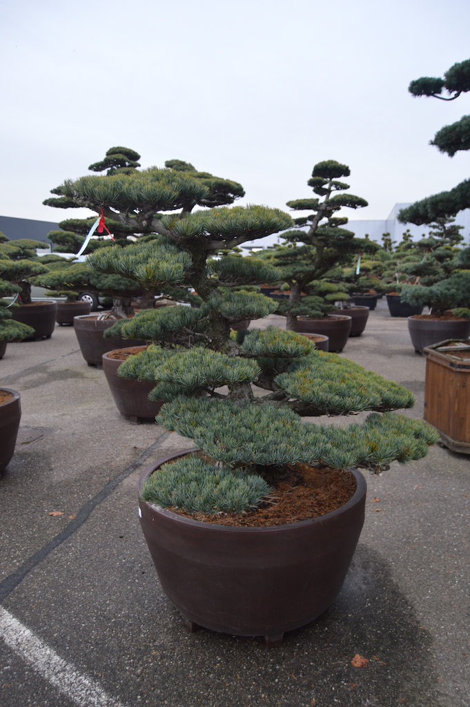 Pinus parviflora 'Glauca' cloud pruned specimen (Japanese import) 120cm