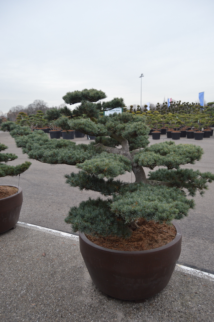 Pinus parviflora 'Glauca' cloud pruned specimen (Japanese import) 125-150cm