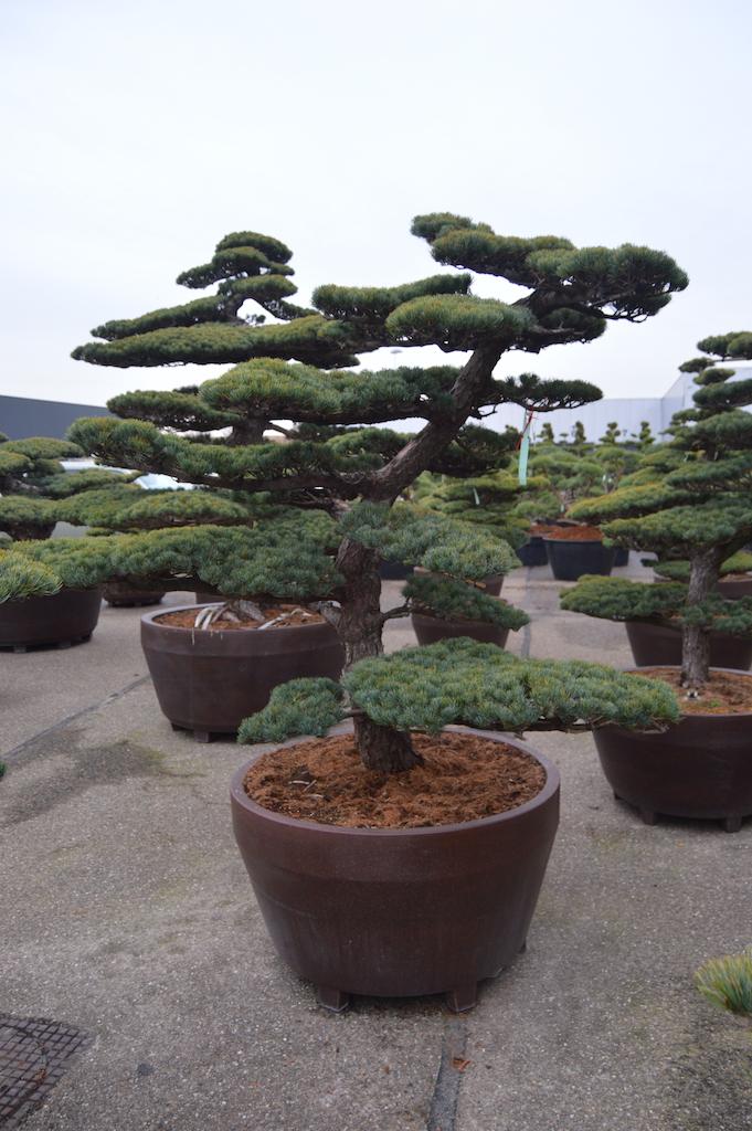 Pinus parviflora 'Glauca' cloud pruned specimen (Japanese import) 200cm