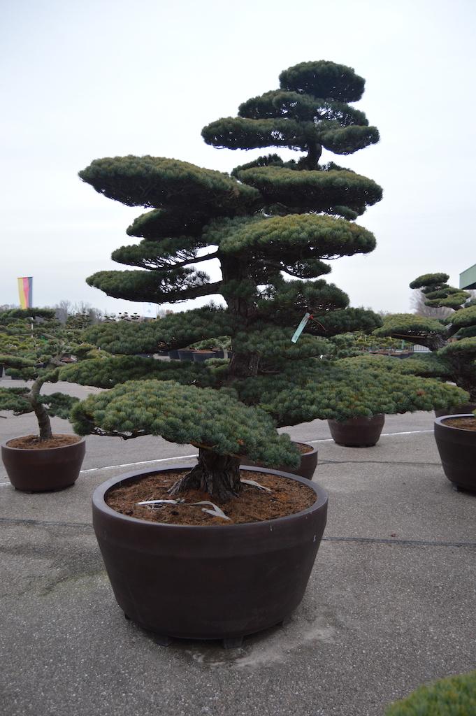 Pinus parviflora 'Glauca' cloud pruned specimen (Japanese import) 250-300cm (2)