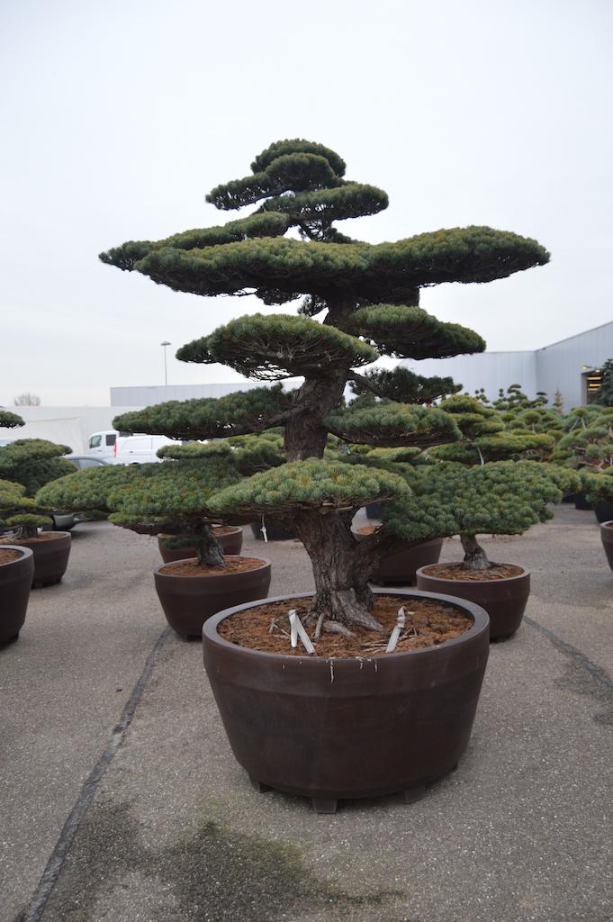 Pinus parviflora 'Glauca' cloud pruned specimen (Japanese import) 250-300cm