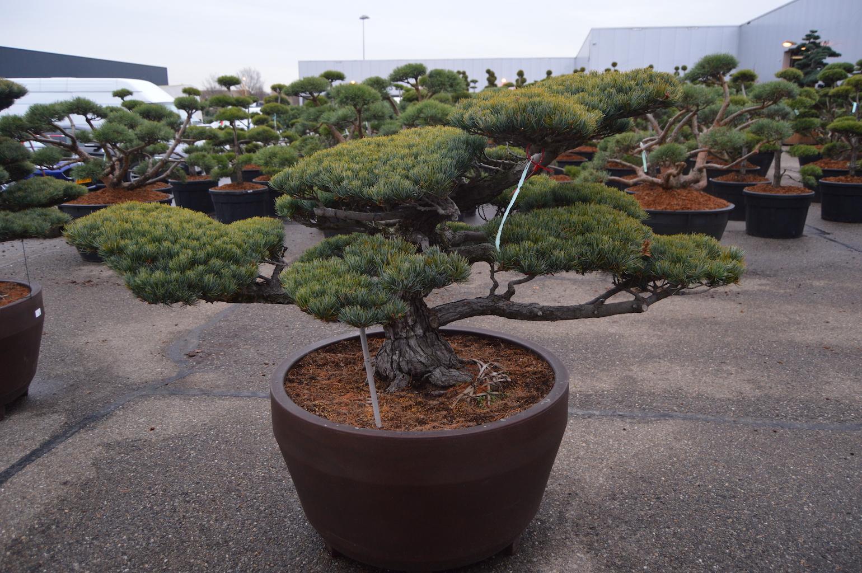 Pinus parviflora 'Glauca' cloud pruned specimen (Japanese import) 80-120cm