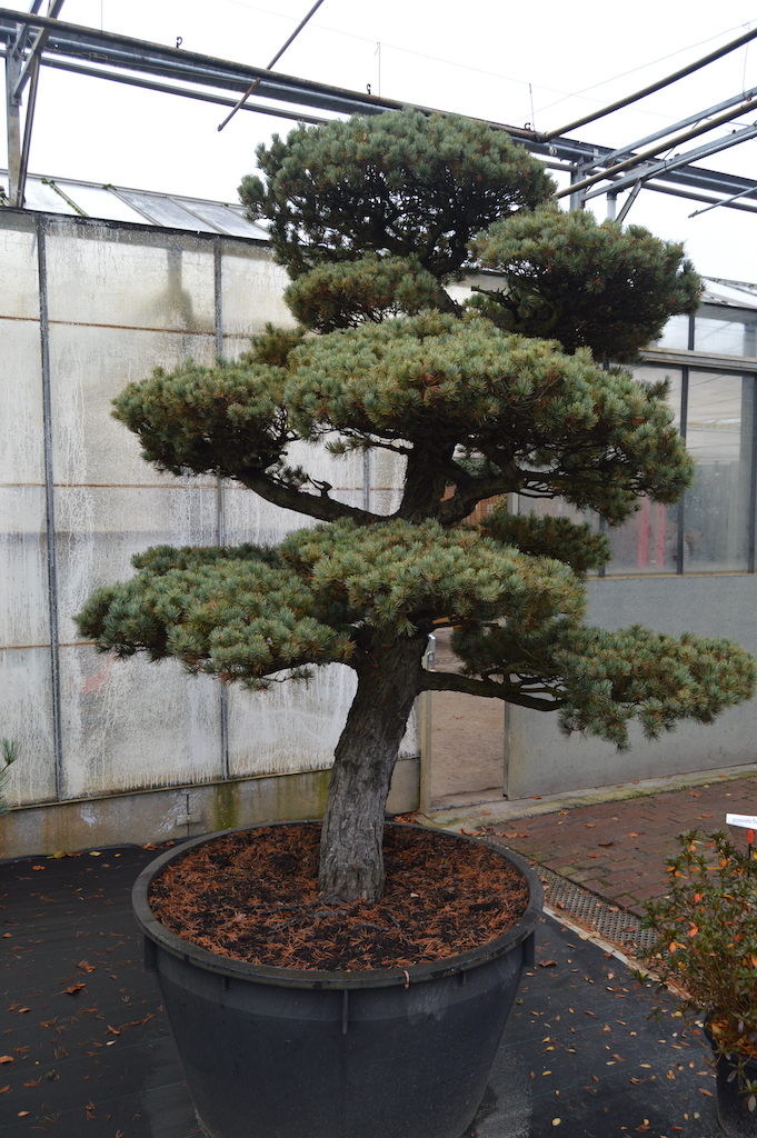 Pinus parviflora 'Glauca' cloud pruned specimen tree