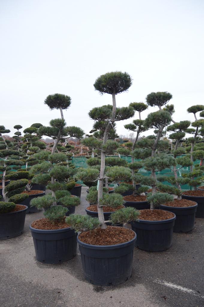 Pinus parviflora 'Glauca' cloud pruned specimens 200-225cm