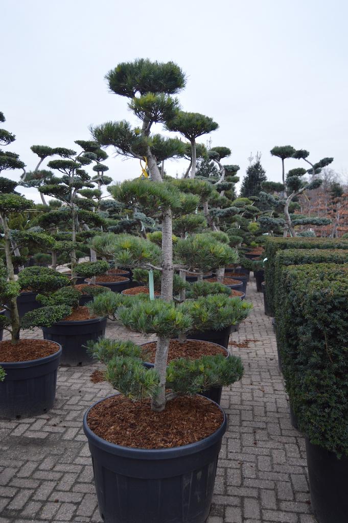 Pinus parviflora 'Glauca' cloud pruned tree 175-200cm