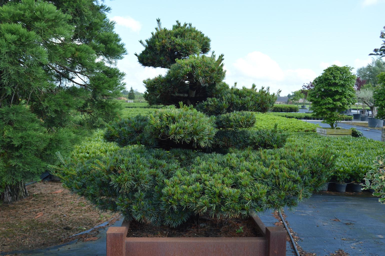 Pinus parviflora 'Glauca' cloud pruned tree in container