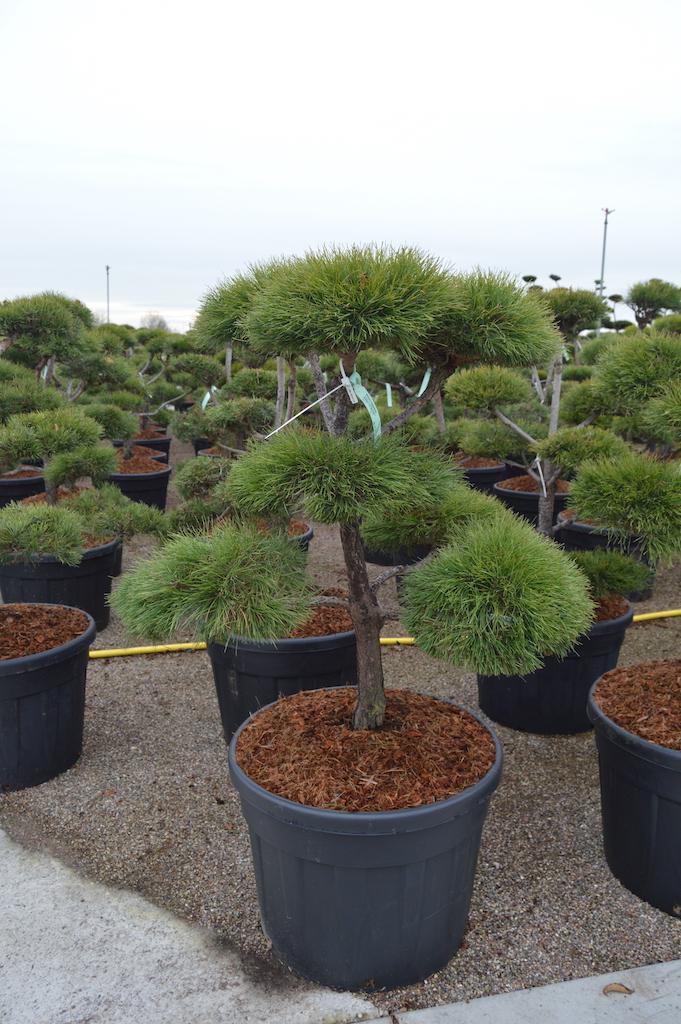 Pinus sylvestris (Scots Pine) cloud pruned 100-125cm