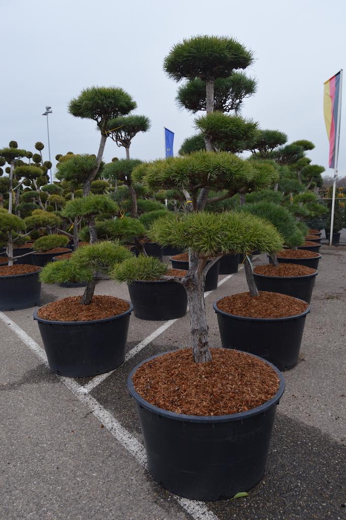 Pinus sylvestris (Scots Pine) cloud pruned tree 175-200cm