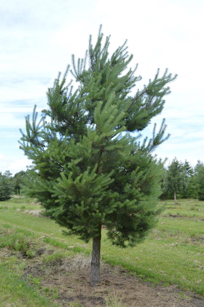 Pinus sylvestris (Scots Pine) specimen tree