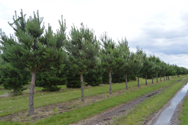 Pinus sylvestris (Scots Pine) standard trees