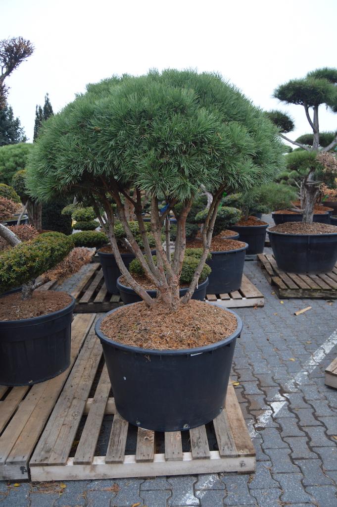 Pinus sylvestris 'Watereri' cloud pruned multi-stem tree 125-150cm