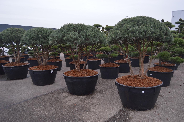 Pinus sylvestris 'Watereri' cloud pruned trees 150-175cm
