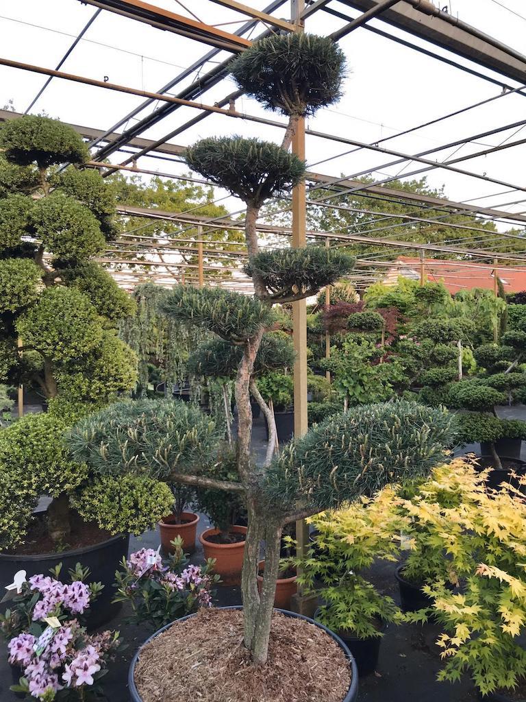 Pinus sylvestris cloud pruned 200-225cm