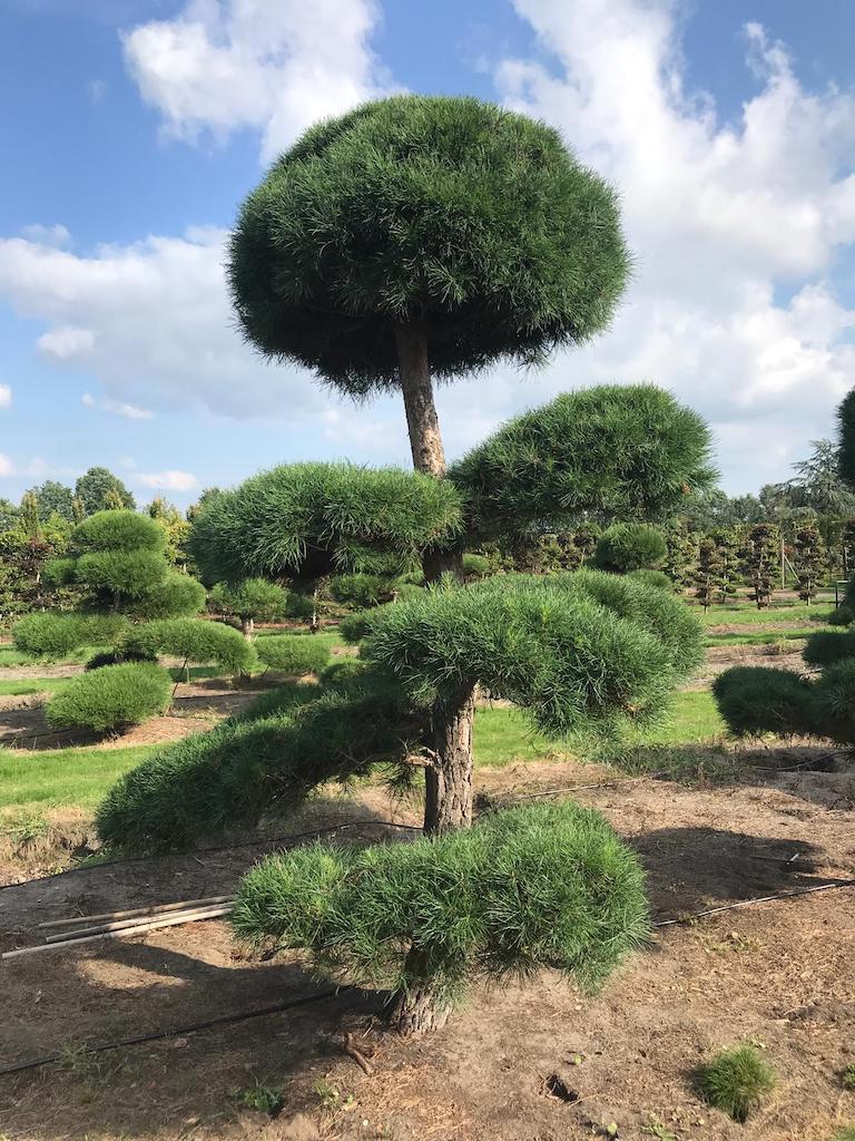 Pinus sylvestris cloud pruned specimen 300-350cm