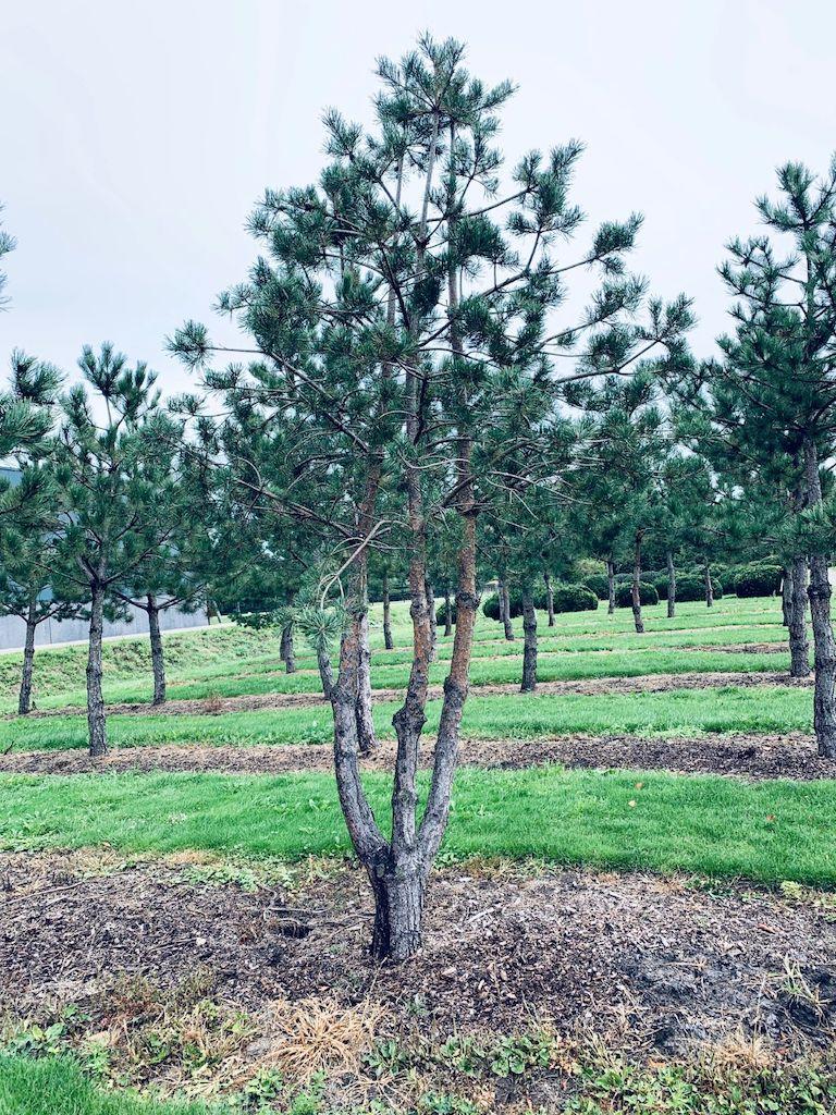 Pinus sylvestris multi-stem tree