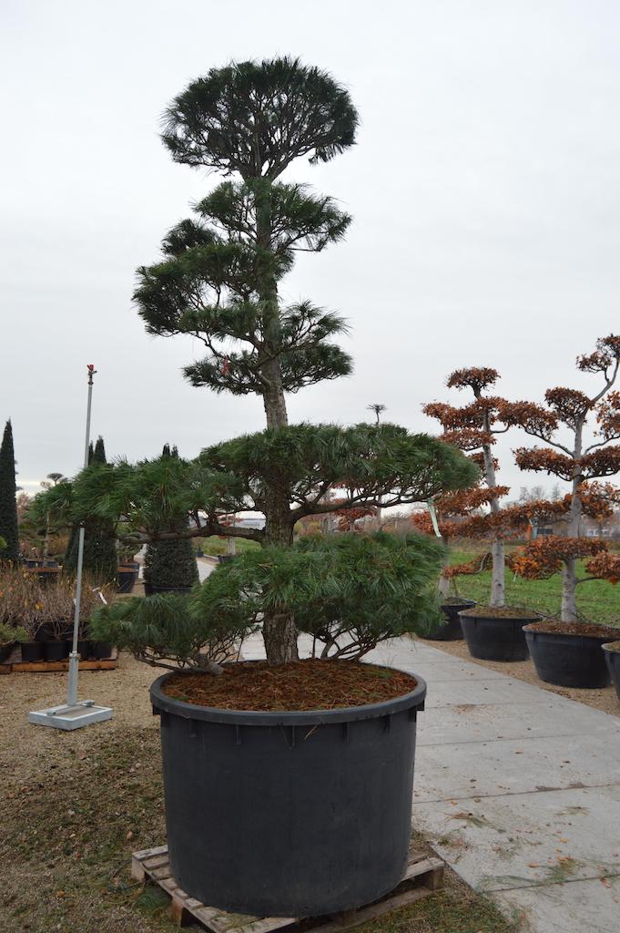 Pinus wallichiana cloud pruned specimen 250-300cm