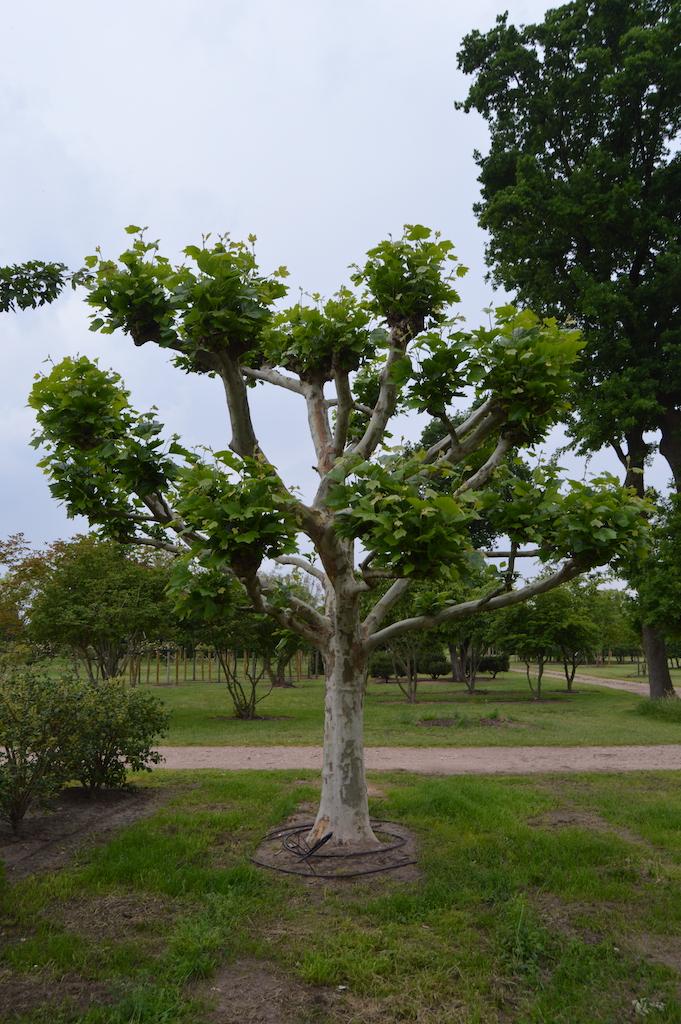 Platanus x acerifolia (London Plane) knot form specimen tree (1)