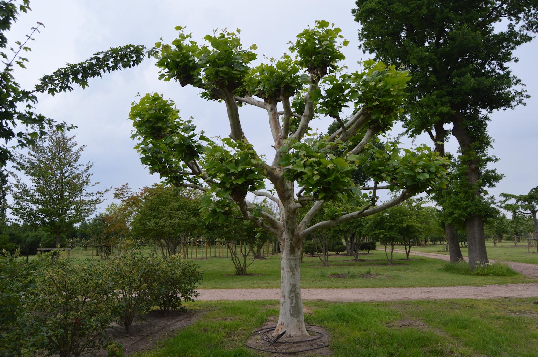 Platanus x acerifolia (London Plane) knot form specimen tree (2)