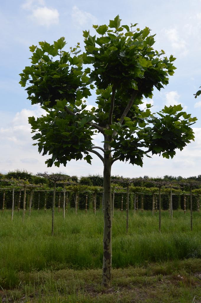 Platanus x acerifolia (London Plane) knot-form tree