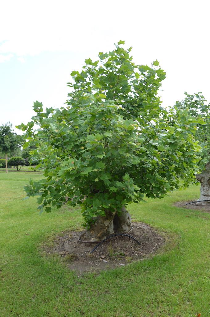 Platanus x acerifolia (London Plane) pollarded tree over 100 years old (1)