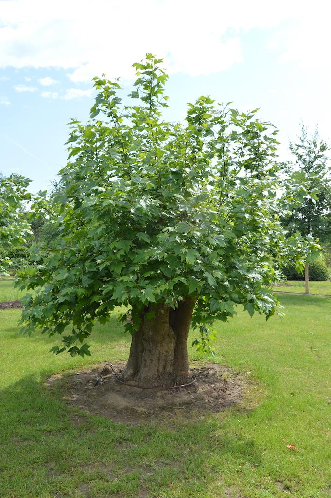 Platanus x acerifolia (London Plane) pollarded tree over 100 years old (4)